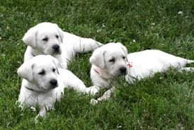 black and white labs