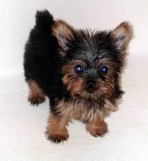 puppy yorkies