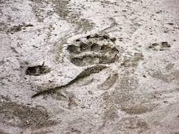 grizzly bear paw prints