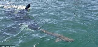 killer whales attacking sharks