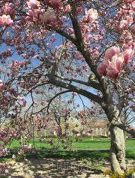 picture of magnolia tree