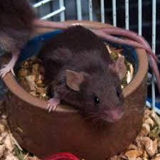 animals mice