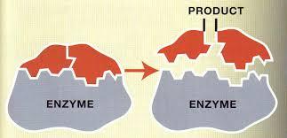 enzyme shape