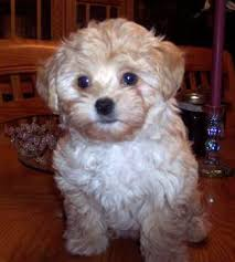 bichon poodle mix puppies