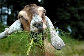 goats photo