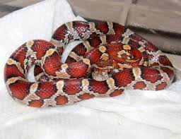 corn snake pictures