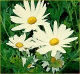 daisy paint