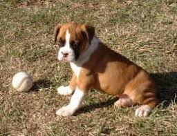 boxer puppies for free