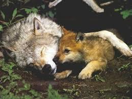 aerial wolf hunt