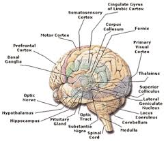 structures of the brain