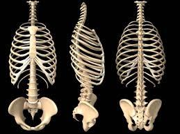 human rib cages