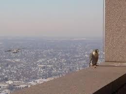 peregrine falcon nesting