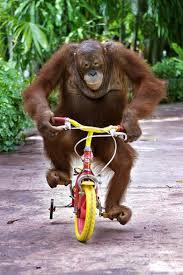 monkey riding bicycle