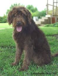 labradoodles dogs