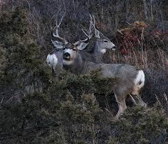 big mule deer