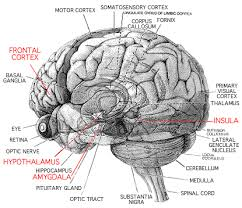 brain diagram function
