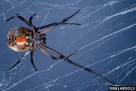 black spider with orange dot