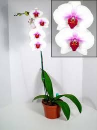 phalaenopsis pictures