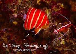 rare angelfish