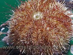 green urchin
