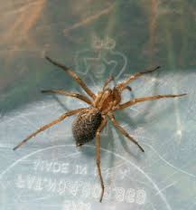 hobo spider pictures