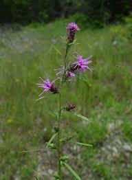 liatris plants