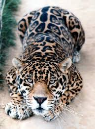 spotted jaguar