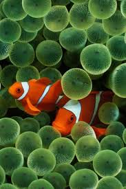 clown fish pictures