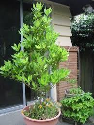 bay leaves tree