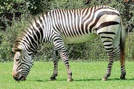 picture of a zebra