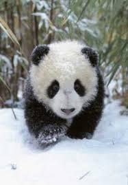 save the panda bears