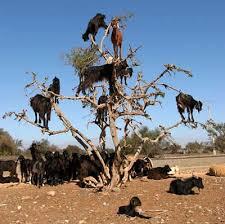 africa goat