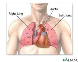heart and lung anatomy