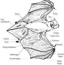 anatomy of bats