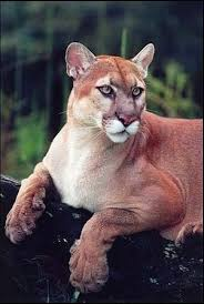 florida panther photos