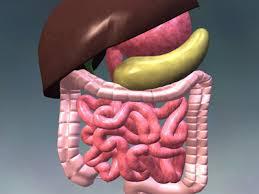 human internal organ anatomy