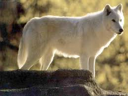 pictures of white wolfs