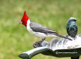 el pajaro cardenal