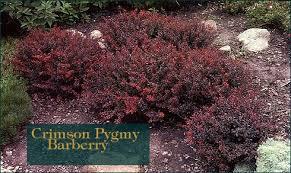 crimson pygmy barberry