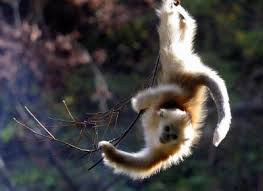 small ape