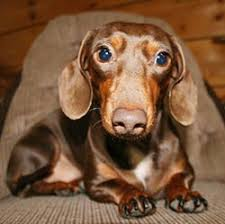 dogs dachshunds