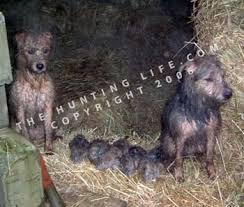 terriers hunting