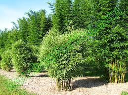 bambusa glaucophylla
