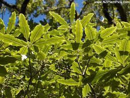 lemonwood tree