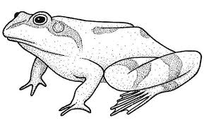 drawing of a frog