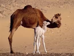 egypt camels