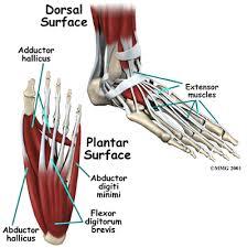 foot nerves