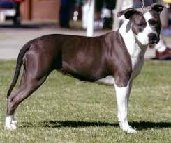 american staffordshire terrier breeders