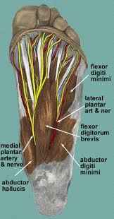 nerves in the foot