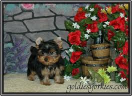 teacup yorkie pups for sale